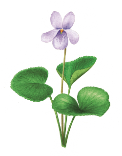 Viola palustris 1 600 600
